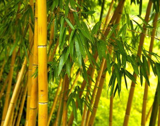 bambu aurea. Black Bedroom Furniture Sets. Home Design Ideas