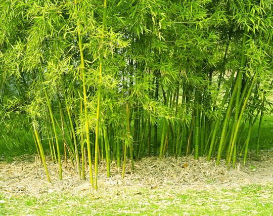 Bambu' dorato Spectabilis
