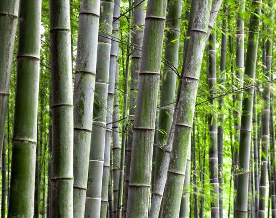 Siepe Di Bambu Prezzo.Bambu