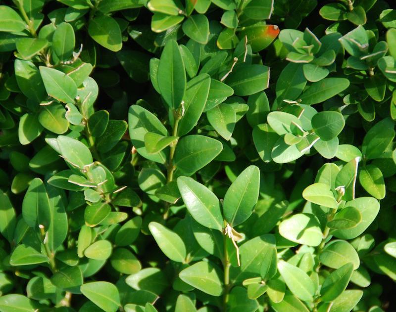 Bosso arbusti for Arbusti da siepe