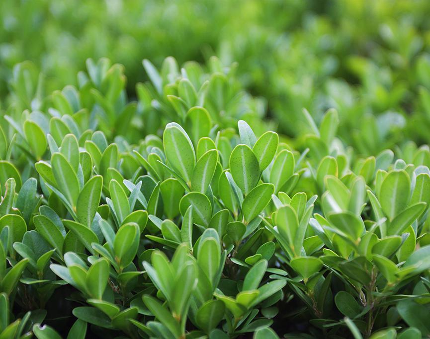 siepe sempreverde profumata