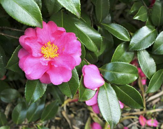 Camellia sasanqua Pink