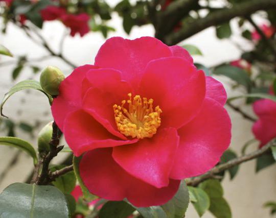 Camellia sasanqua Red