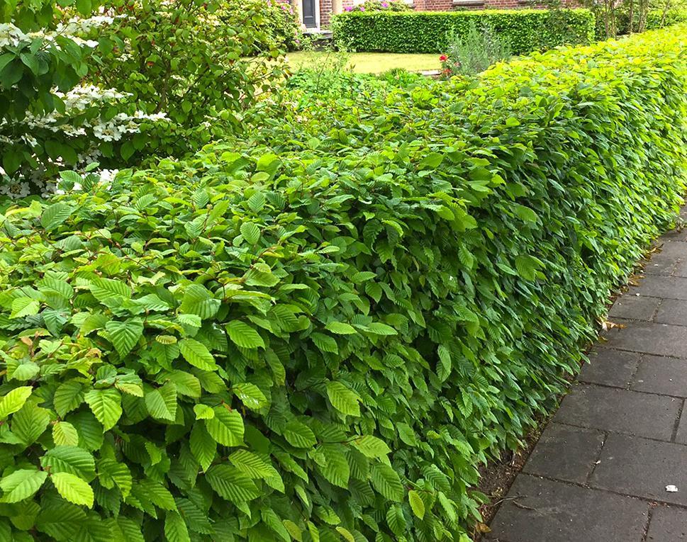 Piante Siepe Crescita Rapida carpino