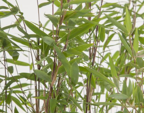 Vendita Piante Bambu Milano.Bambu