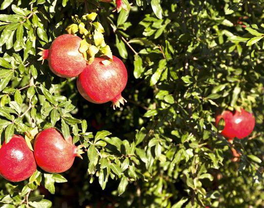 Vivaio Rosso Melograno : Vivaio a pisa piante e fiori vivaio oasi del verde pisa