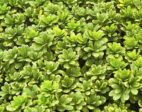 Pitosporo tobira for Piante da siepe sempreverdi