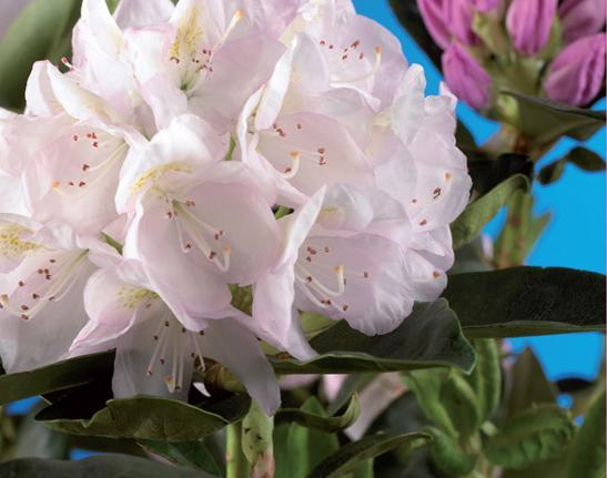 Rododendro cunninghams white - Rododendro prezzo ...