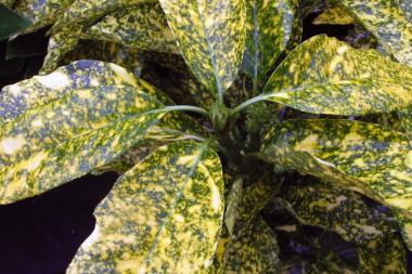 Aucuba giapponese 'Crotonifolia'