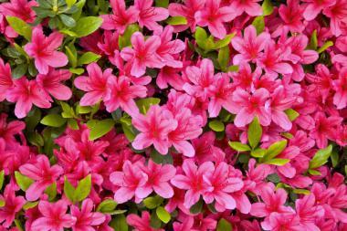 Azalea 'Pink'
