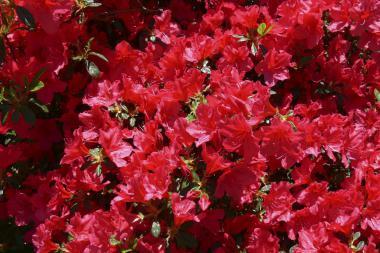 Azalea 'Red'