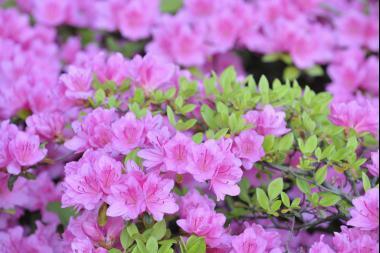 Azalea 'Purple'