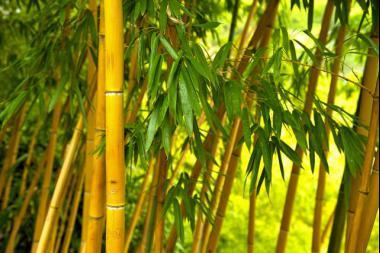 Bambu' Aurea