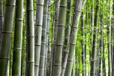 Bambu Phyllostachys