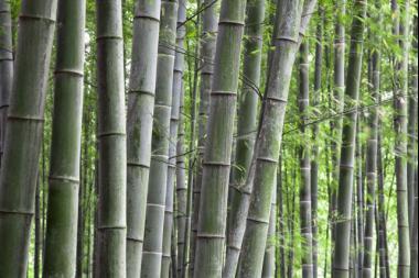 Bambu' Nigra