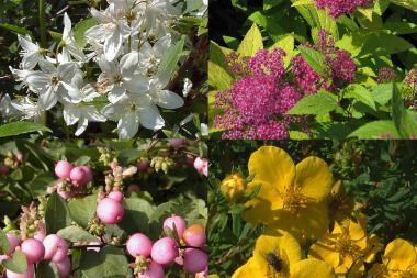 Siepe fiorita bassa