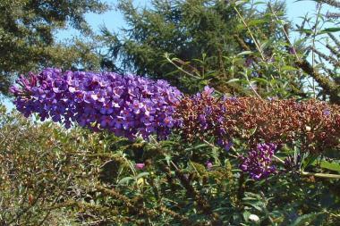 Albero delle Farfalle 'Empire Blue'