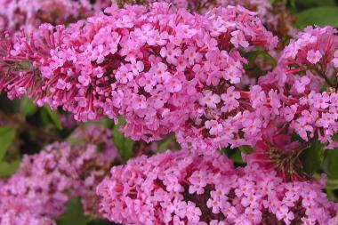 Albero delle Farfalle 'Pink Delight'