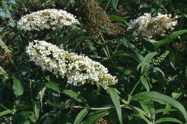 Albero delle Farfalle 'White Profusion'
