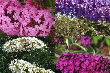 Siepe mista di albero delle farfalle (Buddleia)
