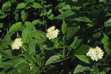 Corniolo stolonifera 'Flaviramea'