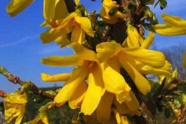 Forsizia spectabilis