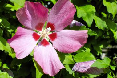 Ibisco 'Pink'