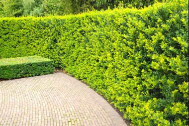 Agrifoglio giapponese 'Green Hedge'