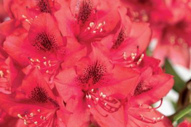 Rododendro 'Nova Zembla'