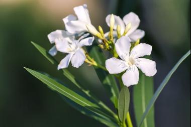 Oleandro 'White'