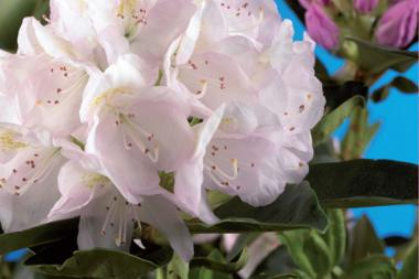 Rododendro 'Cunninghams White'
