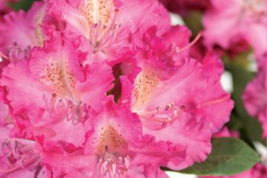Rododendro 'Germania'