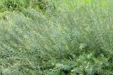 Salice purpurea 'Nana'