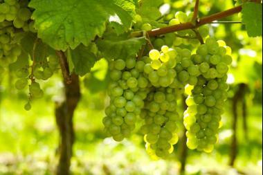 Vitis vinifera 'White Wine'