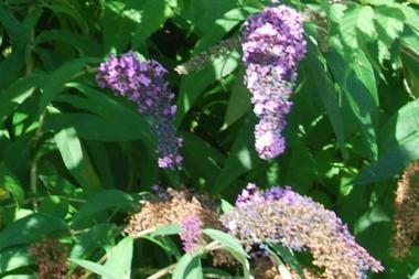 Albero delle Farfalle 'Lochinch'
