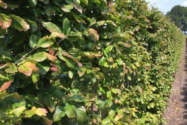 Parrotia persica (Parrotia persica 'Vanessa')