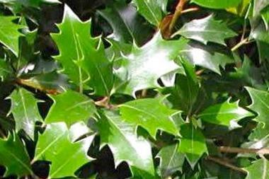Osmanto heterophyllus (a fioritura autunnale)