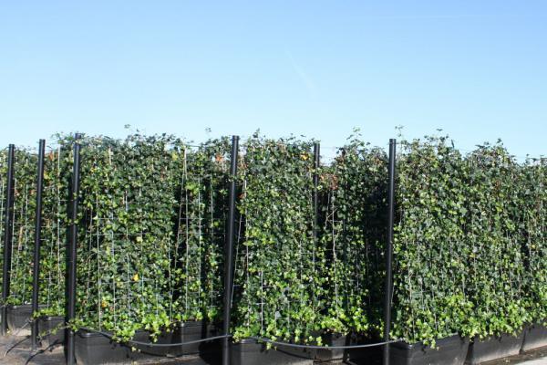 Siepi Da Giardino Crescita Veloce : Siepi a pronto effetto di grandi dimensioni fino a cm