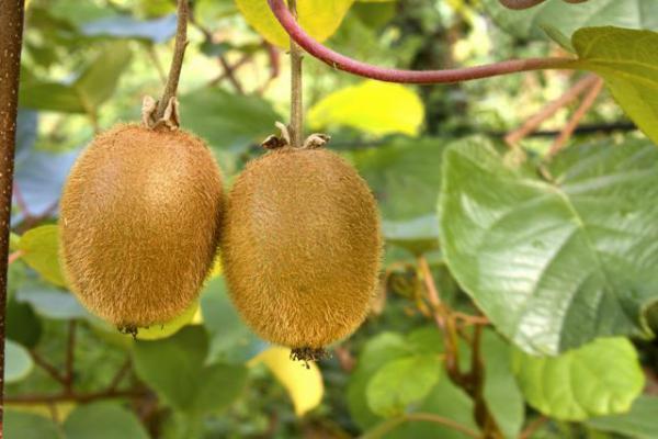 Kiwi for Piante da frutto kiwi