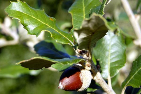 Quercus ilex piante da siepe sempreverdi for Piante da siepe sempreverdi