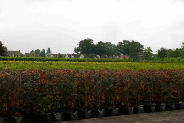 Elementi per siepi e barriere coltivati in vaso (fino a 175 x 100 x ...