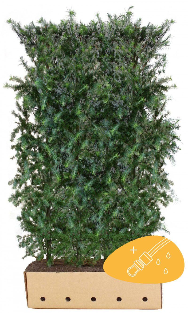 Larice giapponese (Larix kaempferi) Siepe pronta 200 cm Qualità extra