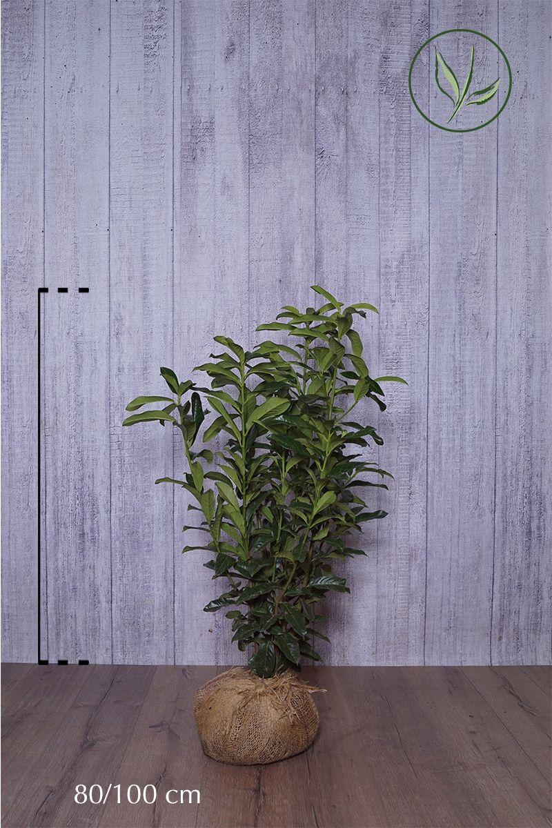 Lauroceraso 'Genolia'® Zolla 80-100 cm Qualità extra