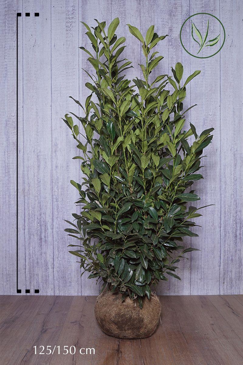 Lauroceraso 'Elly'® Zolla 125-150 cm