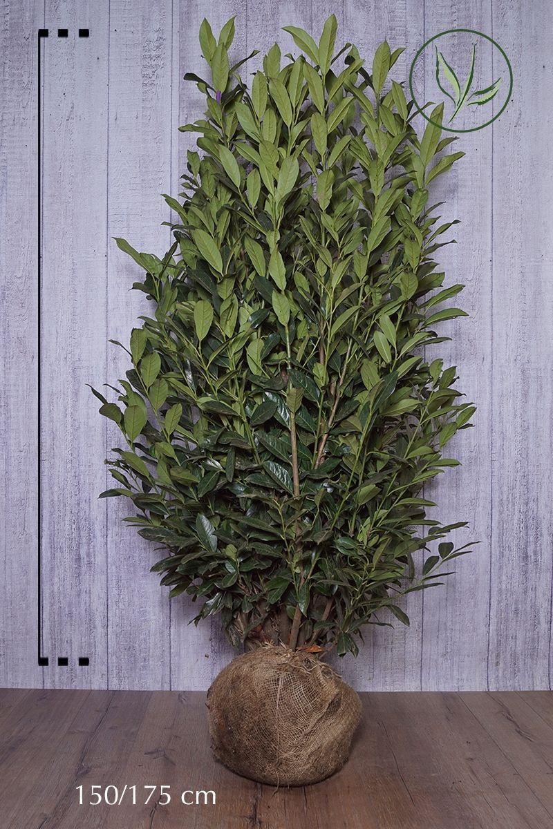 Lauroceraso 'Elly'® Zolla 150-175 cm