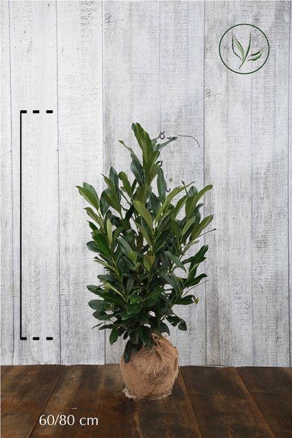 Lauroceraso 'Elly'® Zolla 60-80 cm