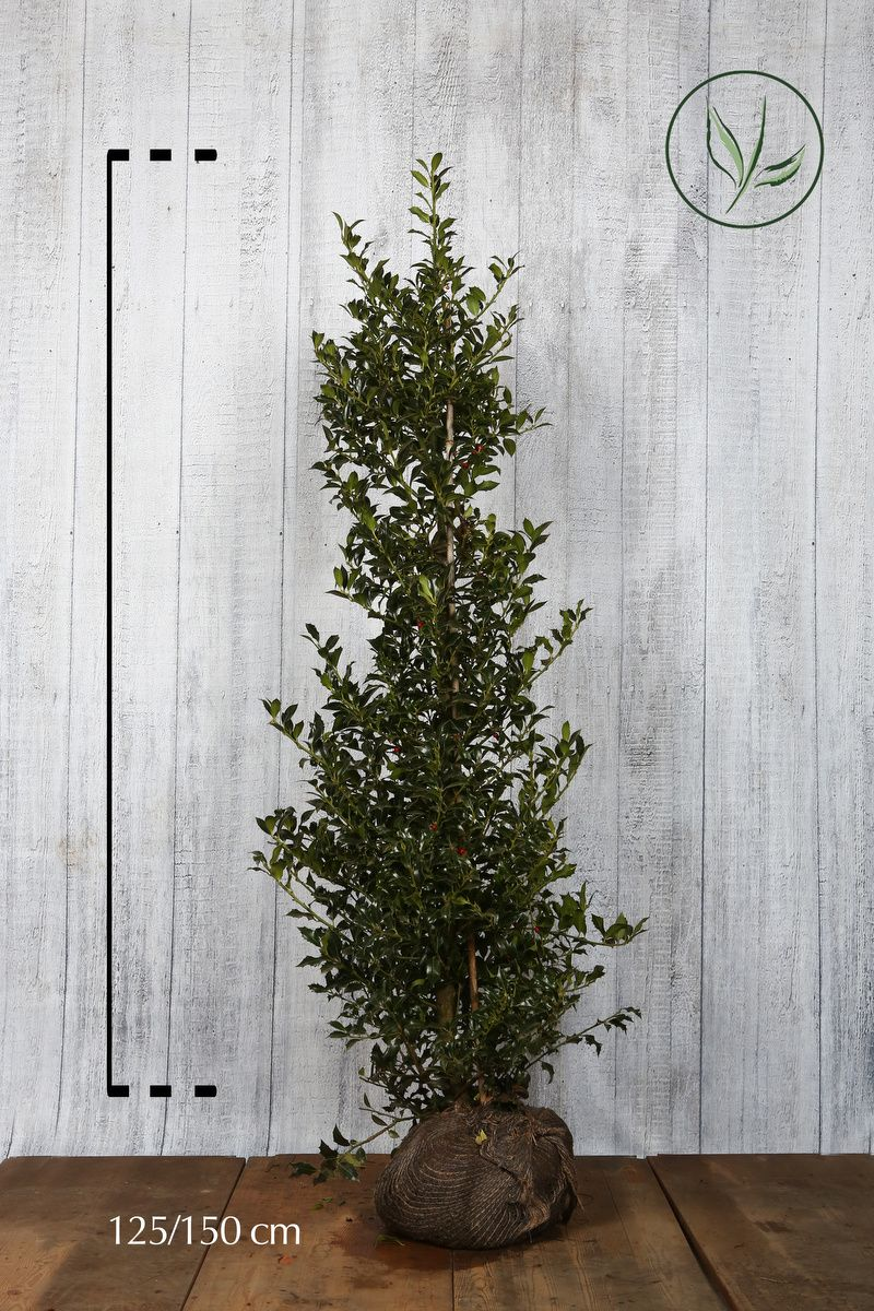 Agrifoglio 'Alaska' Zolla 125-150 cm Qualità extra