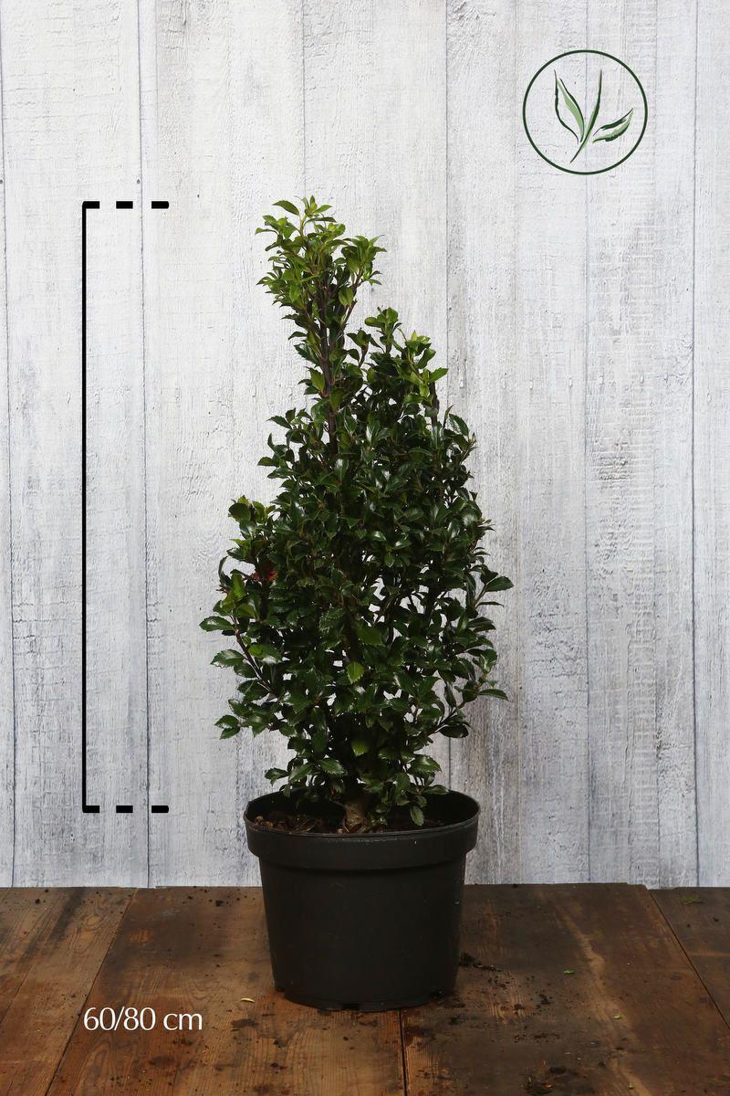 Agrifoglio 'Heckenfee' Contenitore 60-80 cm Qualità extra