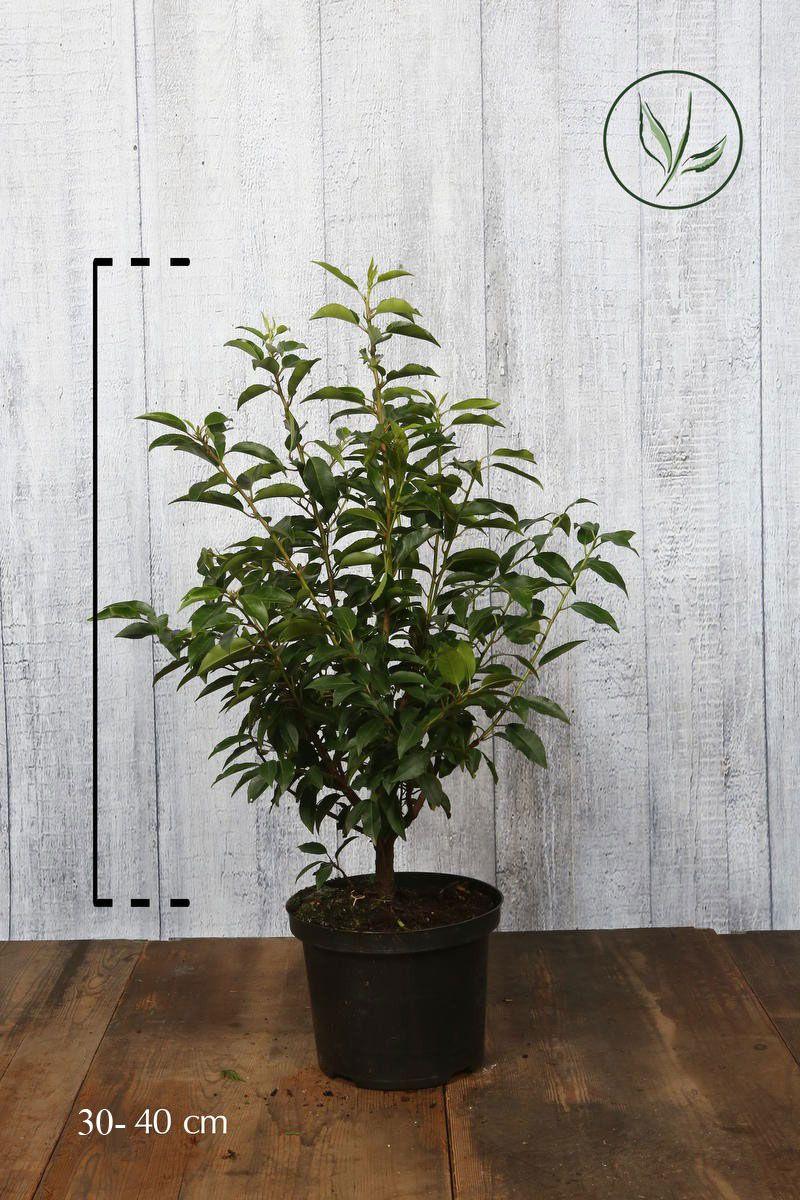 Lauro del Portogallo Contenitore 30-40 cm
