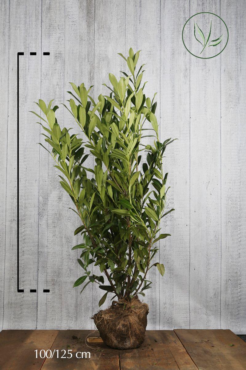 Lauroceraso 'Caucasica' Zolla 100-125 cm